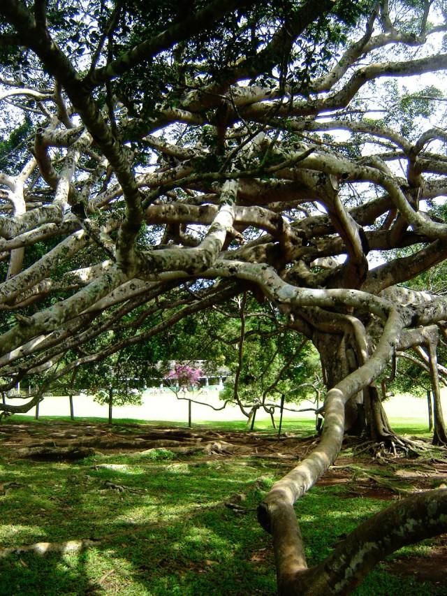 Kandy - Javanese Fig Tree (1)