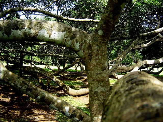 Kandy - Javanese Fig Tree (2)