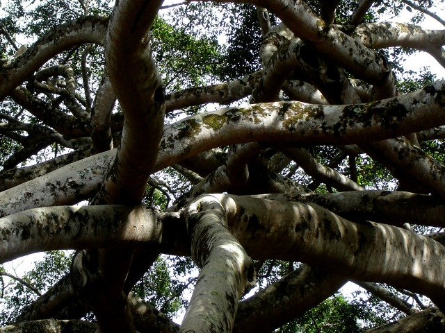 Kandy - Javanese Fig Tree (3)